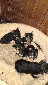 Mini yorkie pups for sale!!