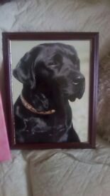 Black Labrador photo
