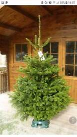 Real Scandinavian Christmas trees FREE Delivery 7ft 8ft