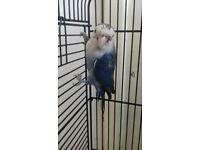 Found lovebird Allerton liverpool 23/6/18
