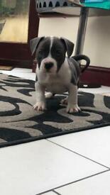 Pocket bully puppies