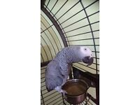 1x Cockatoo & 1 x African grey