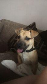 6 month old Jug Puppy