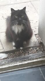 free black and white long hair cat