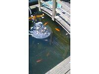 pond Gold Fish
