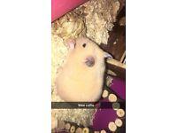 Selling a lovely female hamster