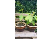 Plant * Avocado Plant Grown from Seed