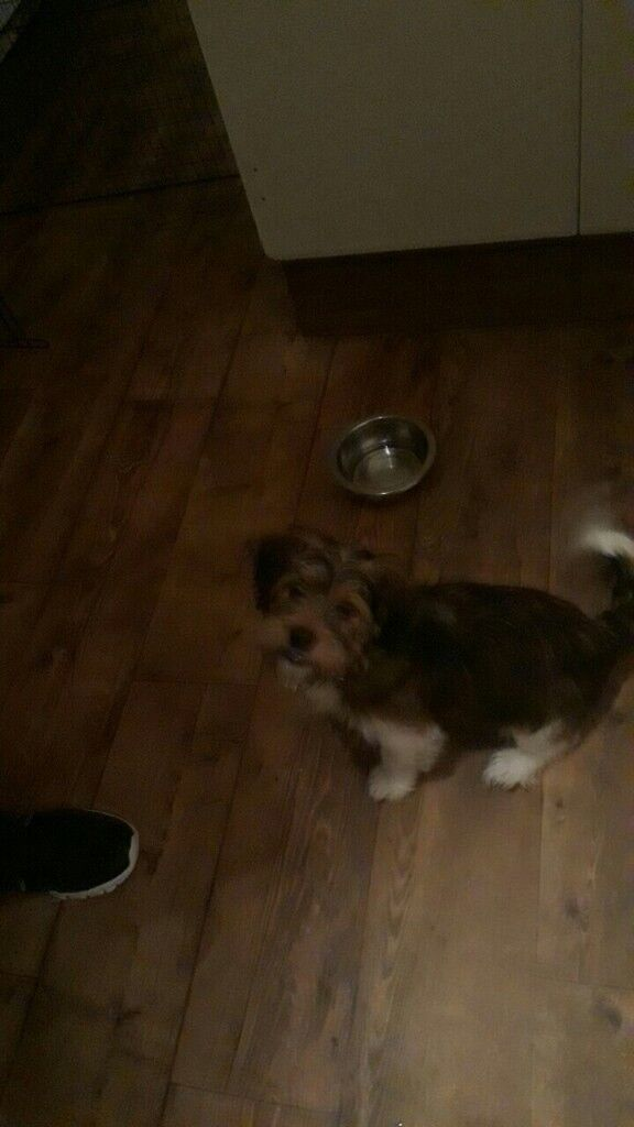 Male shitzu terrier cross for sale. 5mnths old! Genuine reason for selling. Omagh northern ireland