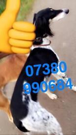 John Lennon bred Kc registered saluki pups for sale