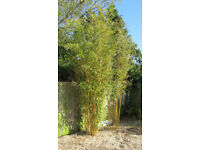 GARDEN PLANT - BAMBOO - 3 LARGE CLUMPS FOR SALE - 12ft TALL SCREENING, WINDBREAK, ARCHITECTURAL