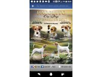KC Parson russell terrier puppies.