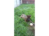 dutch shepherd male pup four months old