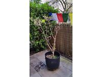 7year old Mature Japanese Maple in a pot. Collect NW2.