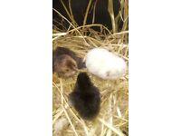 Baby Chicken Chicks
