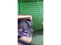 looking for a forever home for my chinchilla