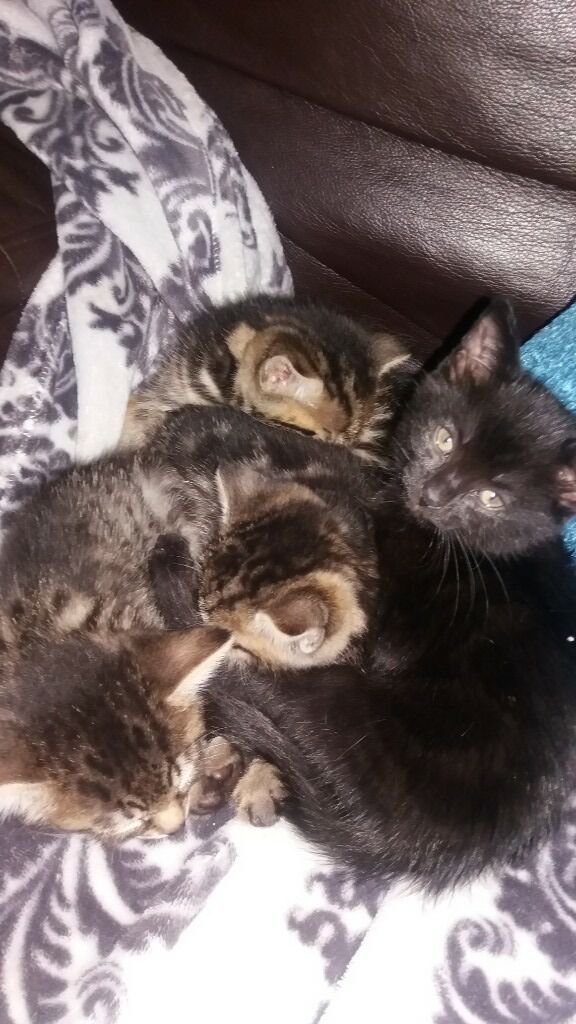 bengal x kittens