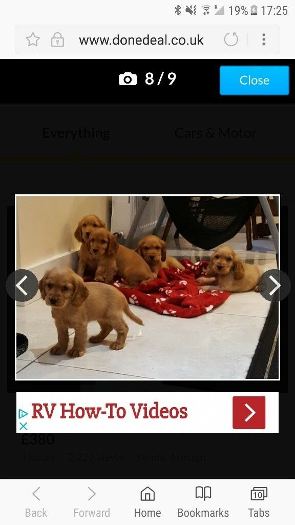 Beautiful cocker spaniel pups for sale