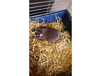 Solo Female Guinea Pig for sale