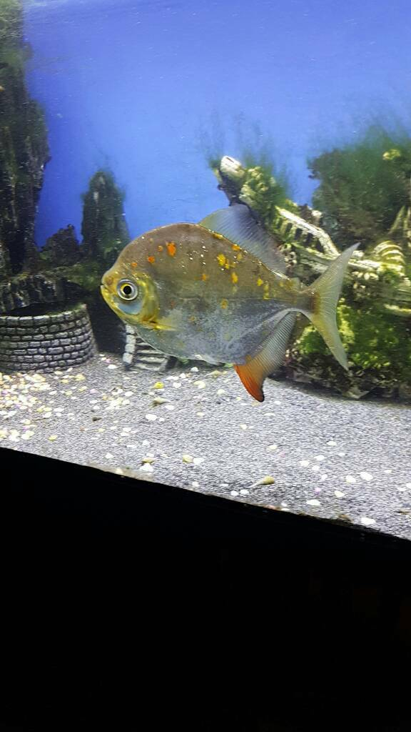 Large silver dollar fish free in ely cambridgeshire for Silver dollar fish for sale