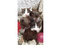 Persian British mix kittens £50 - £150