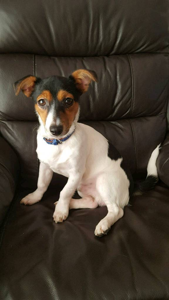 Jack Russell for sale (ralphy) | in Wickham, Hampshire