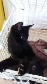 3 black kittens looking for a new home