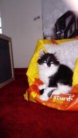 Turkish angala kitten for sale