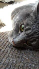 Female grey cat