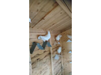 white fantail pigeons for sale