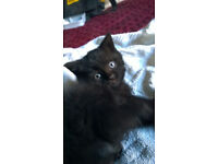 Beautiful pedigree British short hair kittens