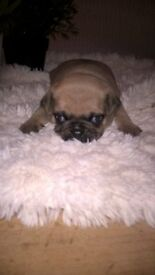 pug puppies/2/male/female/pug/puppies