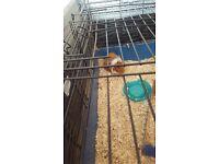 5 guinea pigs