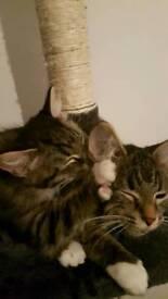 Gorgoues female tabby kitten