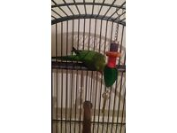 For sale green ring neck and cage