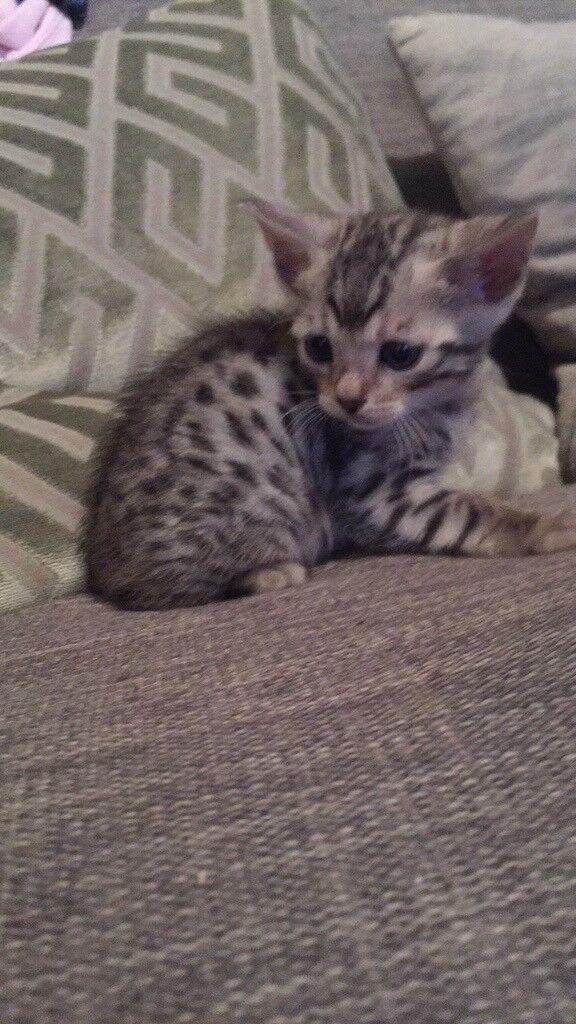1 gorgeous male kitten remaining
