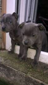 2 Staffordshire Bull Terrier Pups, Blue, 9 weeks old