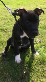 Staffordshire bull terrier Puppy (male) £350