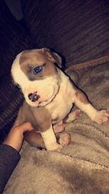 Staffordshire bull terror puppy's for sale