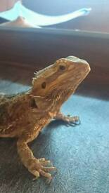 Bearded Dragon with Full Set-up