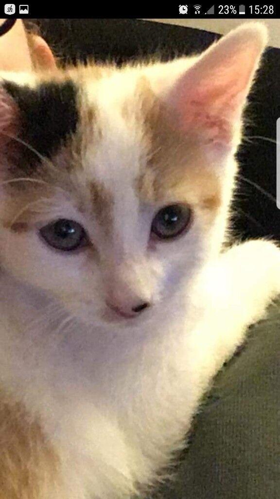 Muncklin kitten 11 weeks old