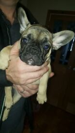 2 frenchbull dog pups for sale both bitches