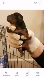 Yorkshire tsrrior pups
