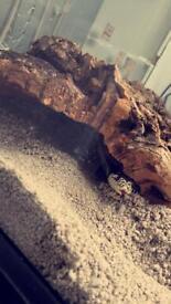 Brown Striped California King snake