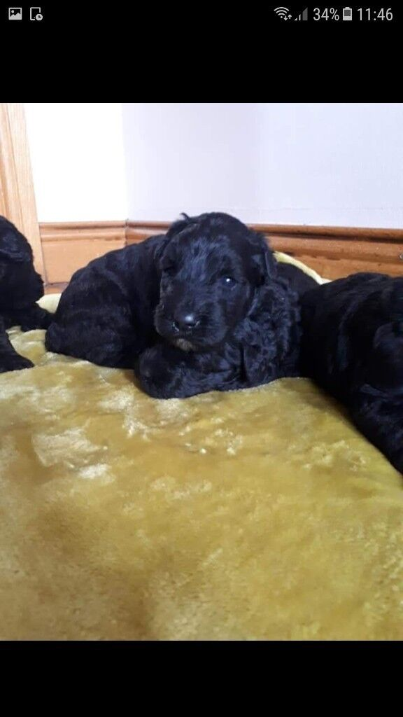 Kerry Blue Terrier Pups In Dunmurry Belfast Gumtree