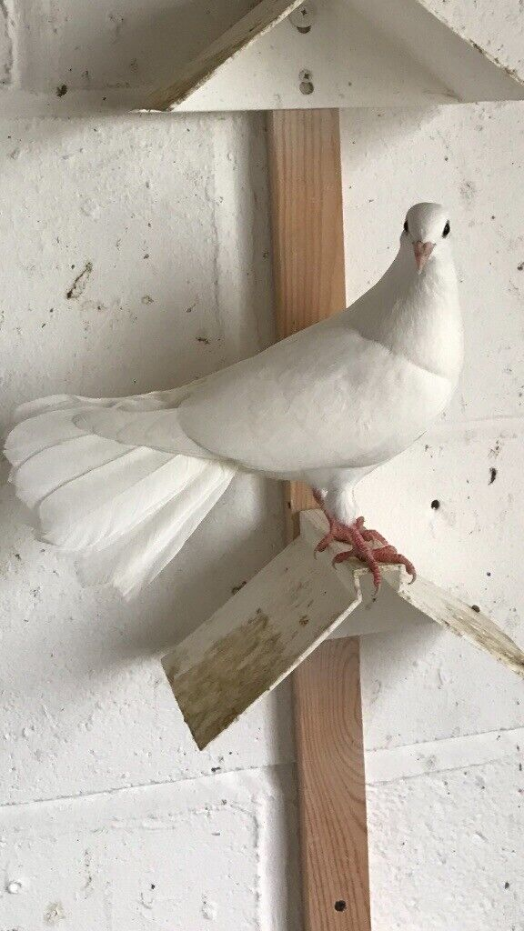 2 Fantail Pigeons For Sale | in Peterlee, County Durham | Gumtree