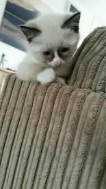 Snowshoe female kitten