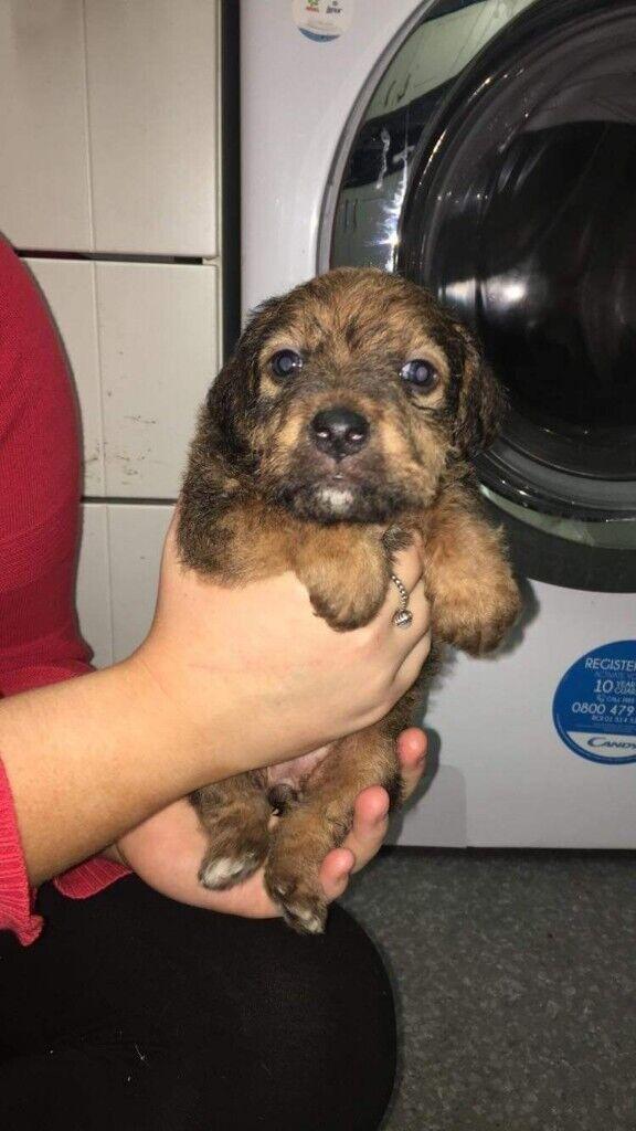 Patterdale Cross Jagdterrier Puppies For Sale In Hemlington North Yorkshire Gumtree