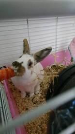 Neutered female rhinelander rabbit