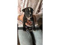 Boston terrier x staff puppies