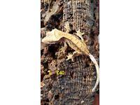 Stunning baby crested geckos